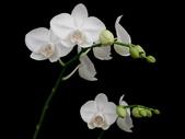 蝴蝶蘭照片欣賞 :W01-022b.JPG
