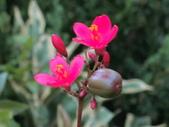植物隨手拍 B:日日櫻 b4728.JPG