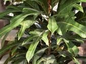 認識植物(58) 寒戟掌提散敦斐斑:戟葉變葉木cn2921.JPG