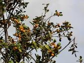 認識植物(64) 象費貼超酢量鈕開陽雁雲韌須:象牙木ay3251.JPG