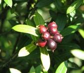 認識植物(69) 當痲矮碎碗稗稜節粳群義聖:矮仙丹花xx03.jpg