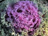 認識植物(70) 腰萬萱萼落葉葎葛葡葫葶蒂:葉牡丹bi1805.JPG
