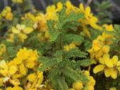 認識植物2.0 (59) 長:長春槐bf8463.JPG