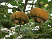 認識植物2.0 (63) 南:南瓜an6654.JPG