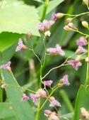 認識植物2.0 (70) 柊柏柚柳:柳葉箬xx03.jpg