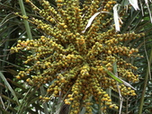植物隨手拍 J:山棕 j5115.JPG