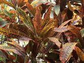 植物隨手拍EI:長葉變葉木ei6686.JPG