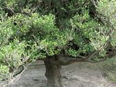 認識植物(64) 象費貼超酢量鈕開陽雁雲韌須:象牙木ay3482.JPG