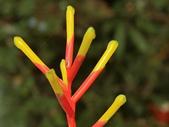 認識植物2.0 (26) 好如守安尖:如意鳳梨cq0992.JPG