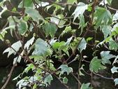 認識植物2.0 (59) 長:長春藤 n1583.JPG