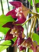 認識植物2.0 (67) 帝後恆扁:帝王毬蘭xx04.jpg
