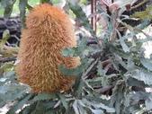認識植物2.0 (30) 米羊羽老考:羊毛班克木xx02.jpg