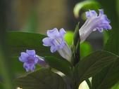 認識植物2.0 (59) 長:長穗馬藍xx01.jpg