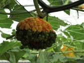 認識植物2.0 (63) 南:南瓜an6660.JPG