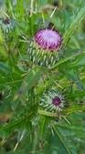 認識植物2.0 (63) 南:南國薊xx03.jpg