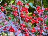 認識植物(69) 當痲矮碎碗稗稜節粳群義聖:矮生栒子xx01.jpg