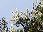 認識植物2.0 (21) 白:白千層an3652.JPG