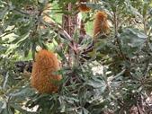 認識植物2.0 (30) 米羊羽老考:羊毛班克木xx04.jpg