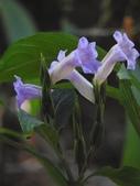 認識植物2.0 (59) 長:長穗馬藍xx02.jpg
