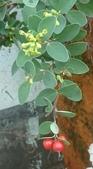 認識植物2.0 (63) 南:南嶺蕘花xx04.jpg
