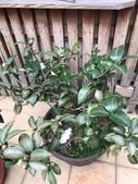 認識植物2.0 (21) 白:白六角茶花xx01.jpg