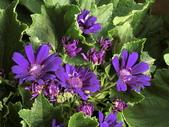 認識植物2.0 (20) 瓜瓦甘田由:瓜葉菊bd0322.JPG
