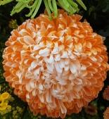 認識植物2.0 (23) 乒交伊伏光:乒乓菊xx04.jpg