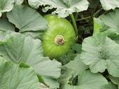 認識植物2.0 (63) 南:南瓜an8453.JPG