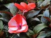 認識植物(68) 新椰椴楊楓極榆榔滇煉煙猿獅瑞:新幾內亞鳳仙花aj8434.JPG