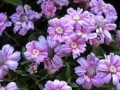 認識植物2.0 (20) 瓜瓦甘田由:瓜葉菊bd1215.JPG