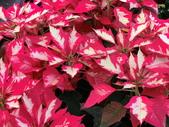 認識植物2.0 (24) 冰列印合吉:冰火聖誕紅bj2583.JPG