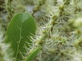 植物隨手拍 AK:細葉欖仁樹ak1308.JPG
