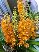 認識植物2.0 (29) 百竹:百代蘭xx04.jpg