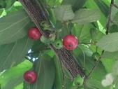 認識植物2.0 (63) 南:南美假櫻桃aj8497.JPG