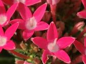 植物隨手拍 X:繁星花 x4325.JPG