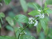 植物隨手拍 AS:胡椒薄荷as1818.JPG