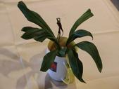 認識植物(60) 猢猩猴琴番畫短硬筆筑:猴面小龍蘭dg0648.JPG
