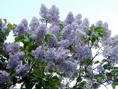 認識植物(61) 紫:紫丁香xx02.jpg