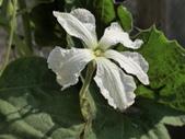 認識植物(70) 腰萬萱萼落葉葎葛葡葫葶蒂:葫蘆ac4695.JPG