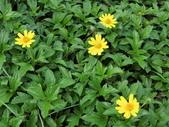 認識植物2.0 (63) 南:南美蟛蜞菊ar1348.JPG