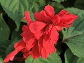 植物隨手拍 A:一串紅 a7186.JPG