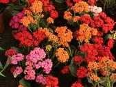 植物隨手拍 P:三色長壽花 p3780.JPG