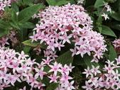 植物隨手拍 X:繁星花 x8393.JPG