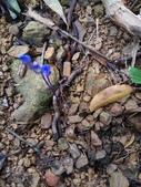 認識植物(61) 紫:紫水玉簪xx01.jpg
