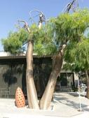 認識植物(64) 象費貼超酢量鈕開陽雁雲韌須:象腳樹xx03.jpg