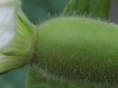 認識植物(70) 腰萬萱萼落葉葎葛葡葫葶蒂:葫蘆ac5930.JPG