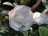 植物隨手拍 BP:昭和之光bp8781.JPG