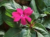 植物隨手拍CW:超級鳳仙cv8600.JPG