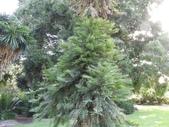 認識植物2.0 (20) 瓜瓦甘田由:瓦勒邁杉xx02.jpg
