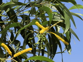 認識植物2.0 (31) 耳肉肋舌舟艾:耳莢相思樹ba6599.JPG